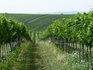 vinohrady
